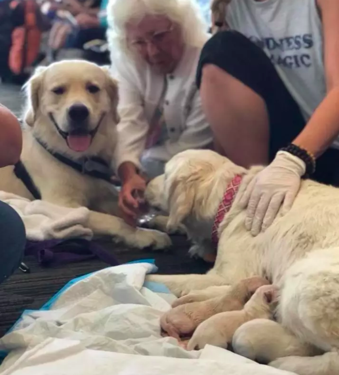 Service Dog Gives Birth To Eight Puppies In Middle Of Airport
