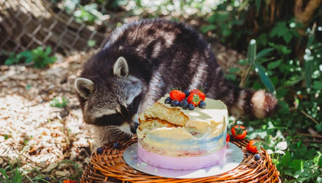 raccoon birthday party unilad
