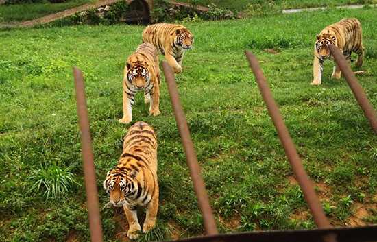 Tigers in a zoo in China
