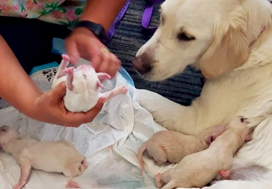 Service Dog Gave Birth To Eight Puppies In Airport