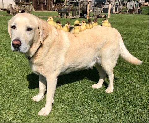 Dog adopts chicks