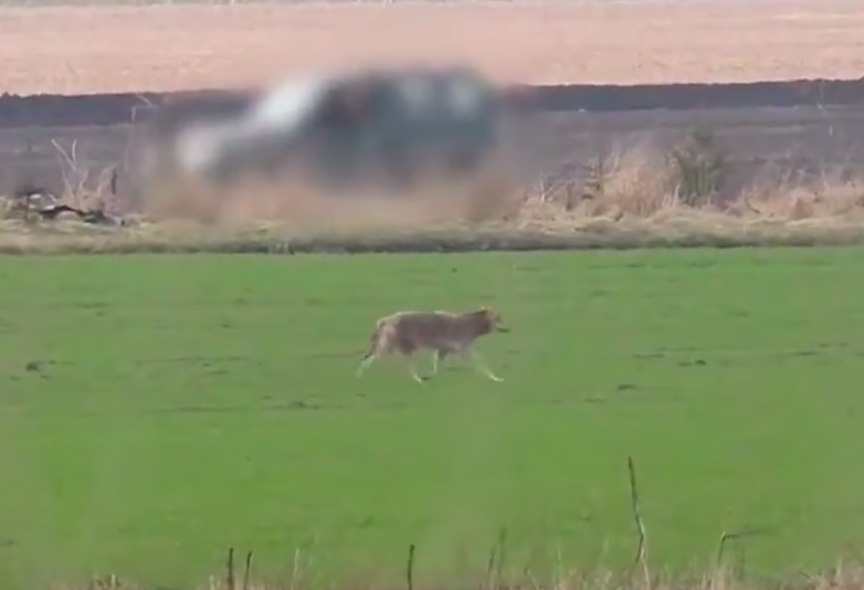 Hunter Shoots Dead One Of Only Wild Wolves In Denmark