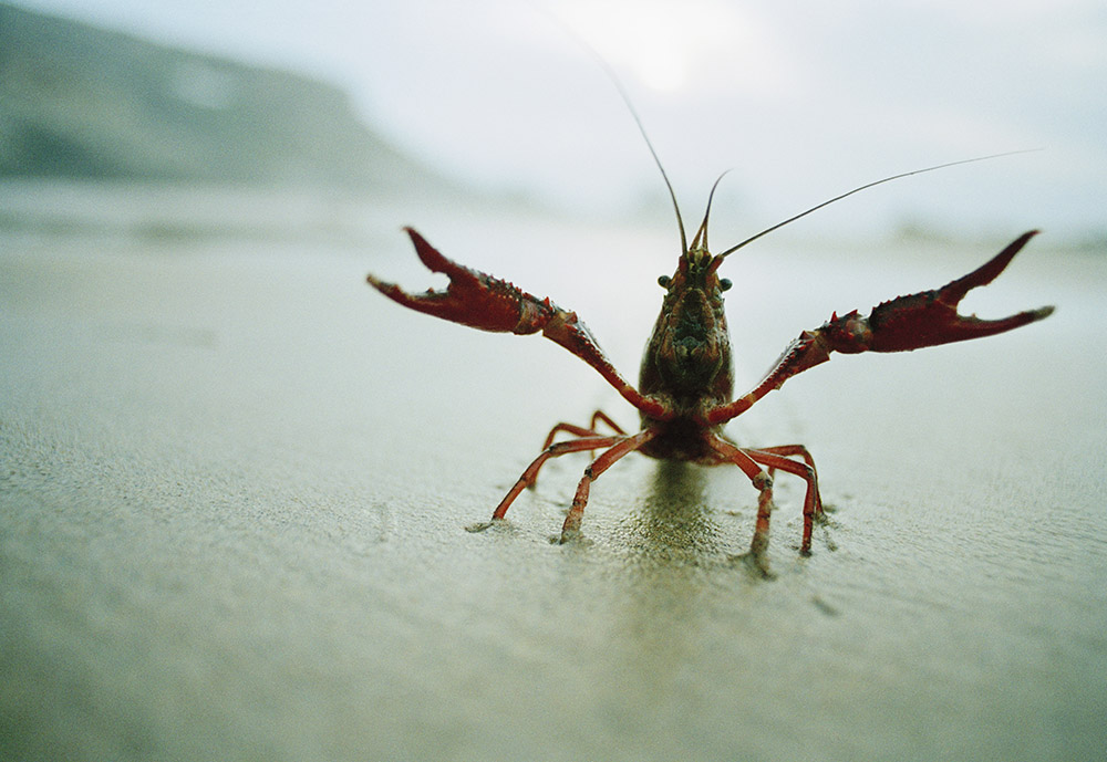 Crayfish Amputates Own Leg To Avoid Being Boiled Alive In Restaurant