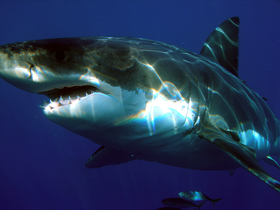 Great White Shark Measuring Majorca