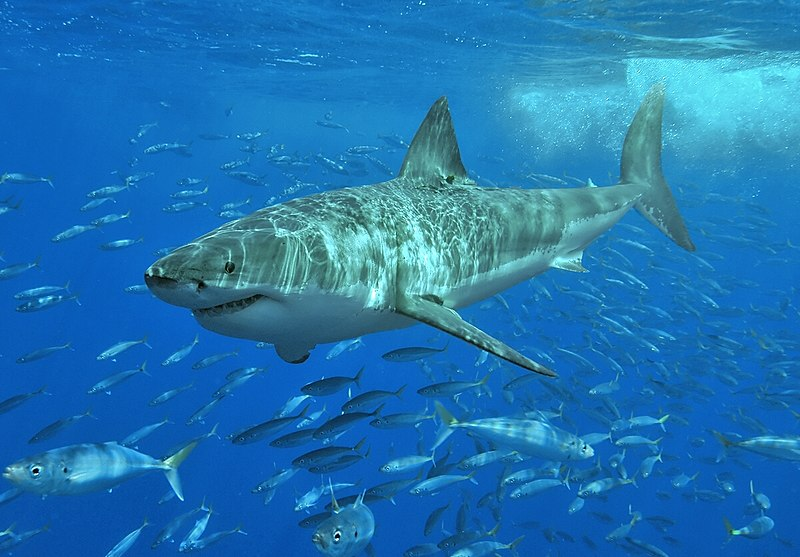 Great White Shark Measuring 16.5ft Caught Lurking Off Coast Of Majorca