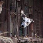 South Korean Court Rules Killing Dogs For Meat Illegal
