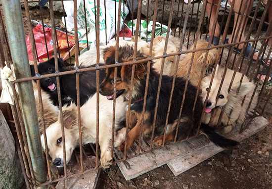Dogs caged in Yulin