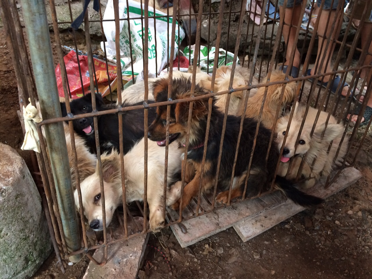 Dogs in cages waiting to be sold at Yulin festival