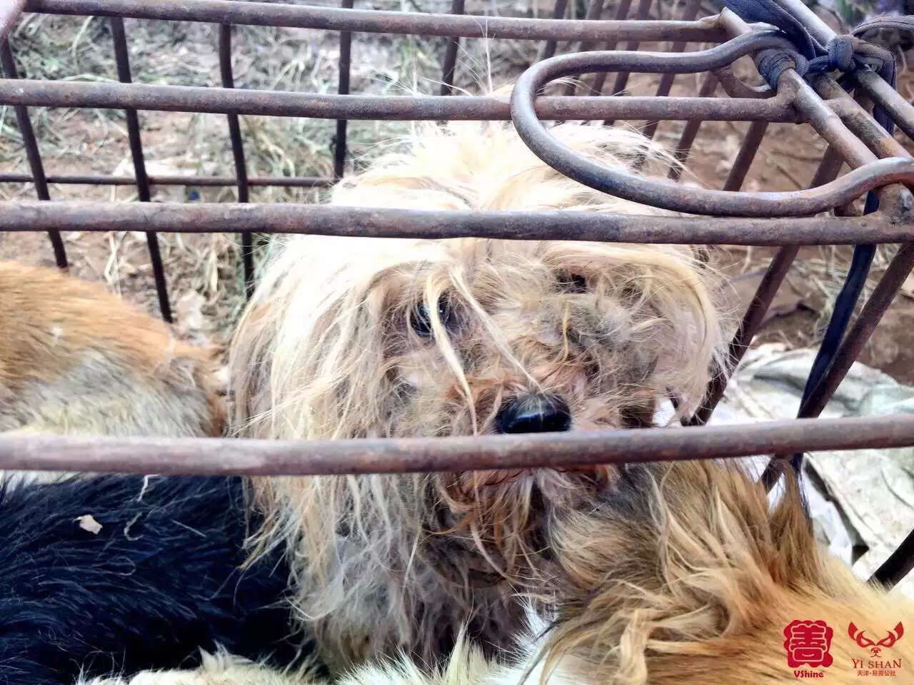 A dog in a cage at Yulin festival prior to sale of dog meat ban