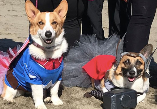 corgis at the beach