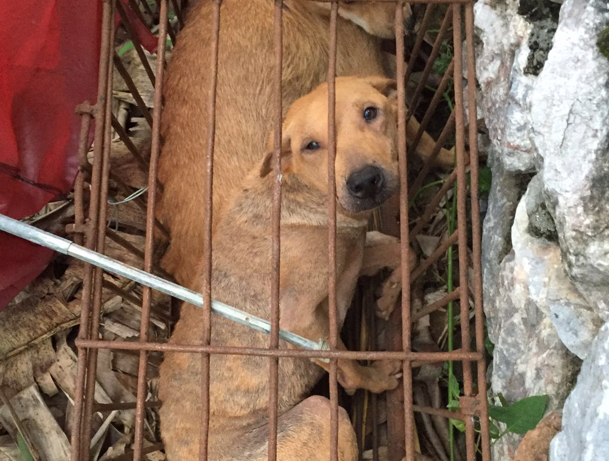 Dog caged at Yulin festival