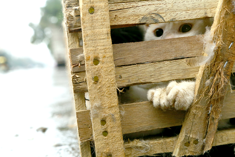 caged cat at Yulin before the dog meat ban