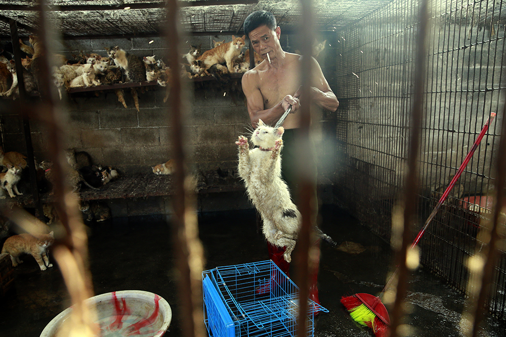 A slaughterhouse butcher transfers a cat to a cage