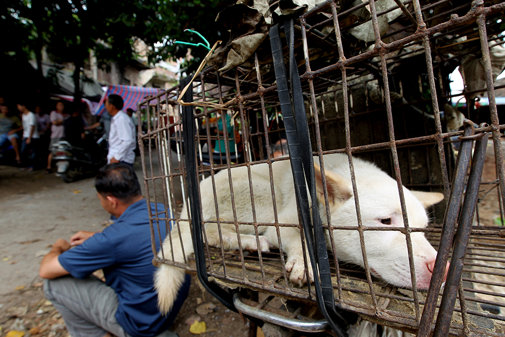 dog waits to be sold as meat in a market in Yulin