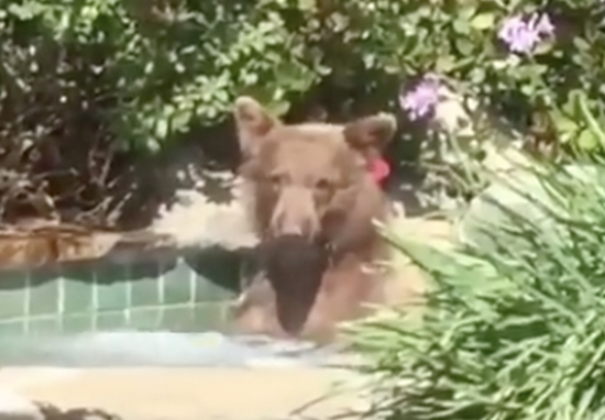 Bear Taking A Dip In Pool, Sipping A Margarita And Taking A 2 Hour Nap Is 2018s Summer Hero Bear Hot Tub A