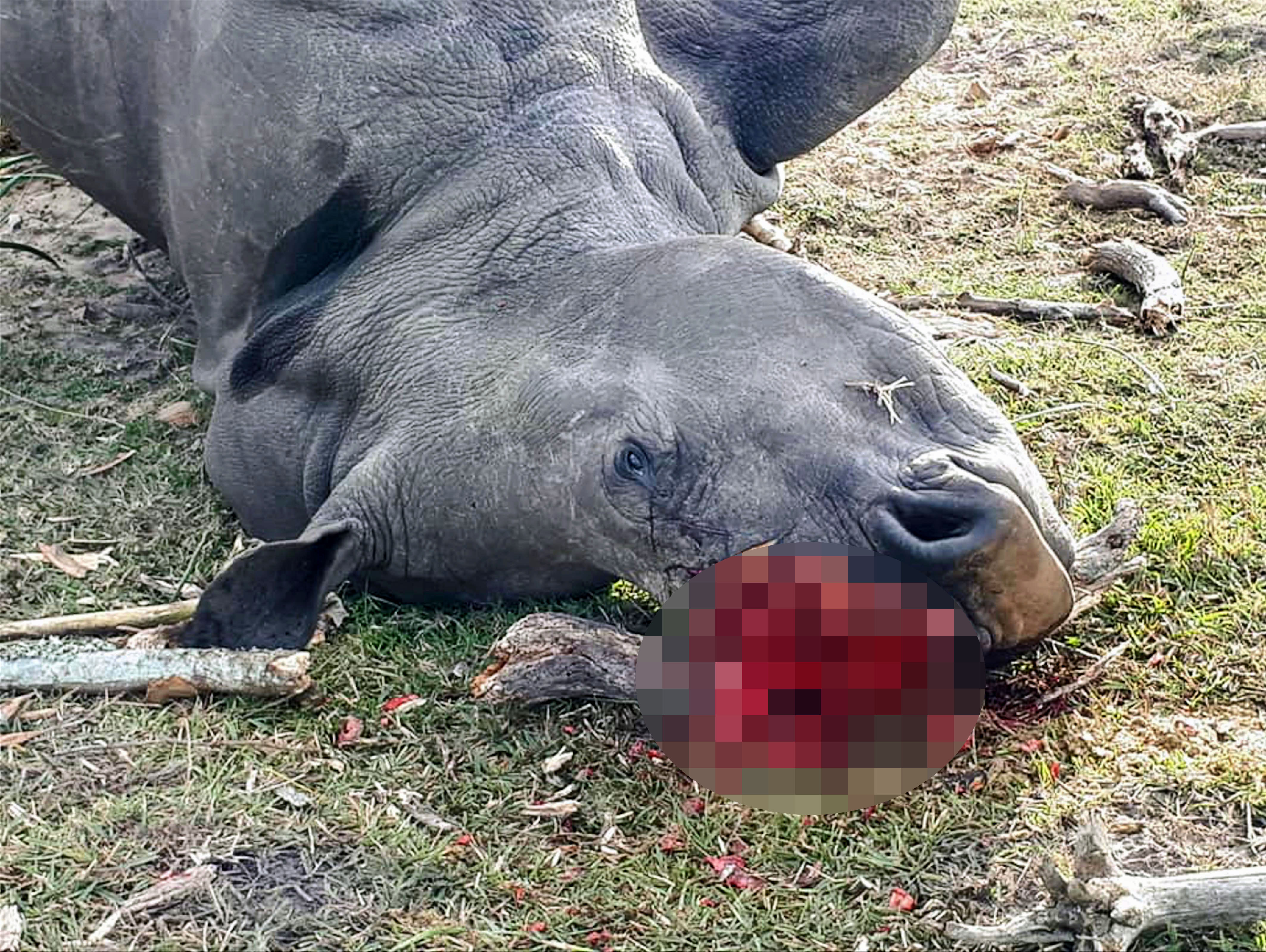 Bella, a white rhino, killed for her horn