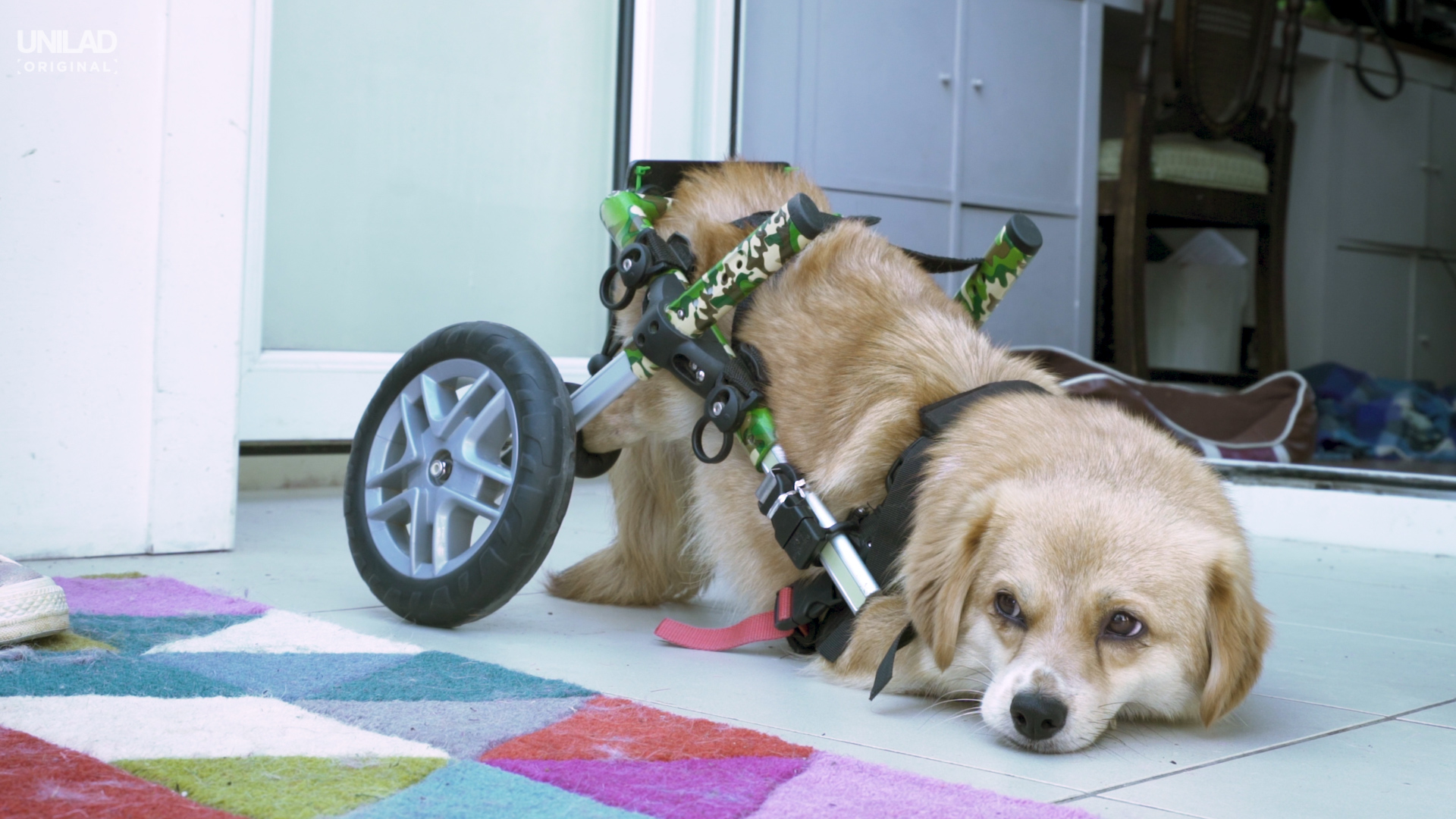 One of Broken Biscuits' disabled dogs