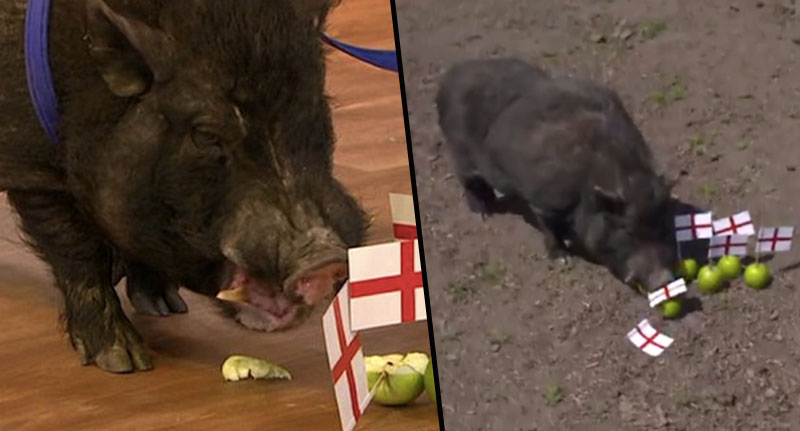 People Call For 'Mystic' Pig To Become Bacon After Incorrectly Predicting England To Beat Croatia