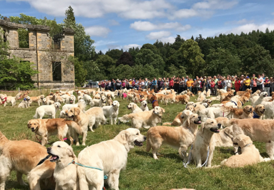 361 Golden Retrievers Met Up In Scotland And Had The Best Time Ever Golden A