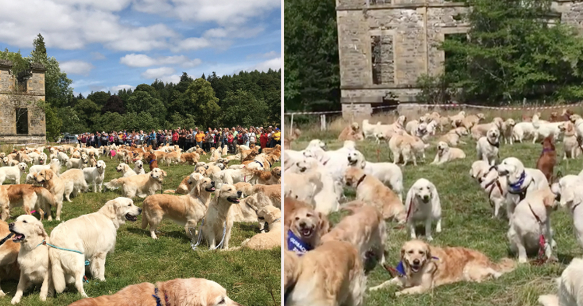 361 Golden Retrievers Met Up In Scotland And Had The Best Time Ever
