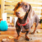 There's A Sausage Dog Cafe Coming To The UK
