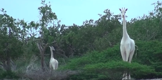 Rare White Giraffes Caught On Camera For First Time Ever Screen Shot 2018 07 29 at 20.10.00
