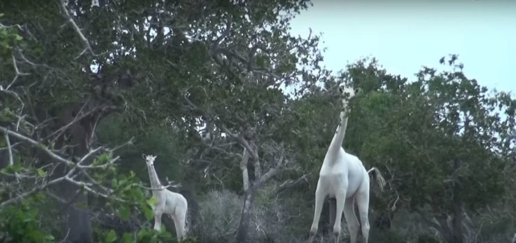 White giraffe spotted for the first time.