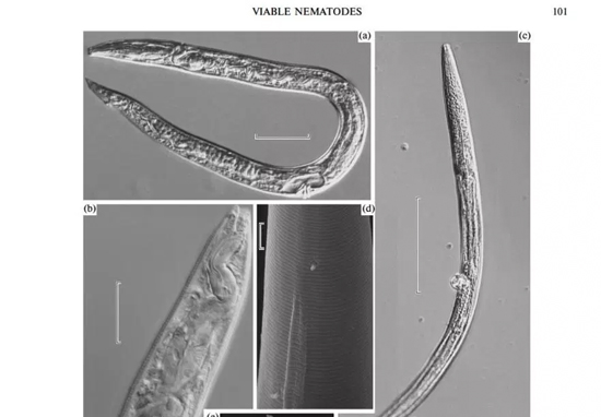Scientists Revive Tiny Worms Which Have Been Frozen For 42,000 Years Worms