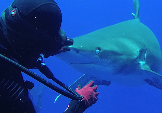 Diver pulls hook from shark's mouth