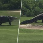 Giant Alligator Casually Strolls Across Florida Golf Course