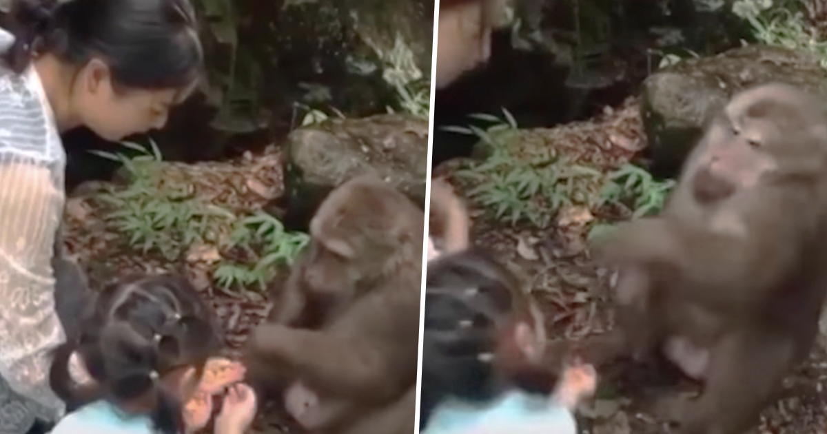 Monkey Punches Girl In Face At Zoo For Taunting Him With Food