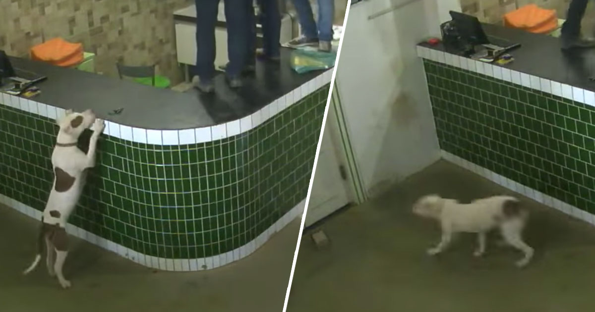 Workers Left Terrified After Being Approached By Friendly Pit Bull playful pit bull main thumb