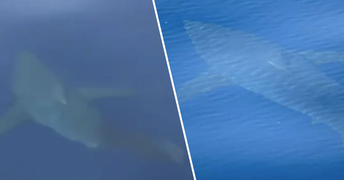First Footage Emerges Of 16.5ft Great White Shark Off Majorca Coast sharkB