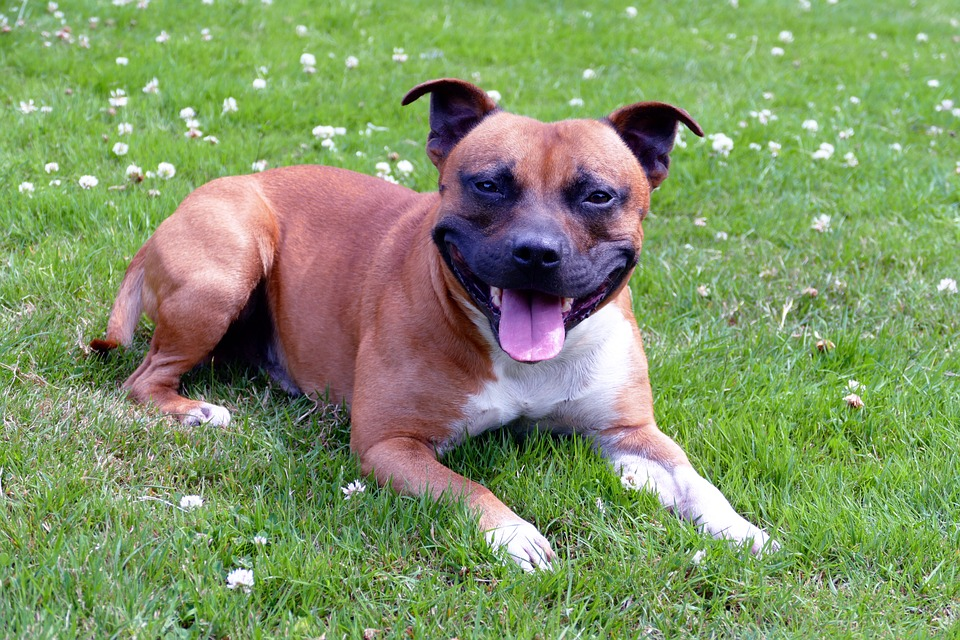 MPs Debate Whether Or Not To Add Staffies To Dangerous Dog Act staffie3PIXABAY