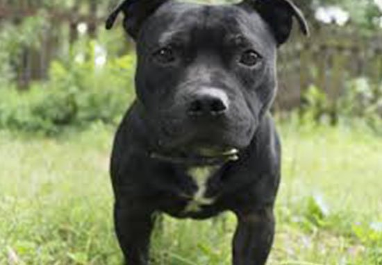 MPs Reject Call To Add Staffies To Dangerous Dogs Act staffieB 1