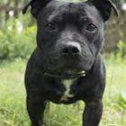 MPs Debate Whether Or Not To Add Staffies To Dangerous Dog Act