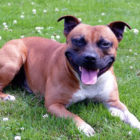 MPs Reject Call To Add Staffies To Dangerous Dogs Act