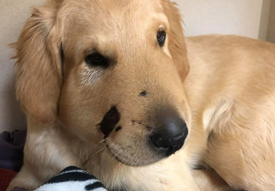 Hero Dog Gets Bitten In The Face By Rattlesnake While Saving Owner todd1