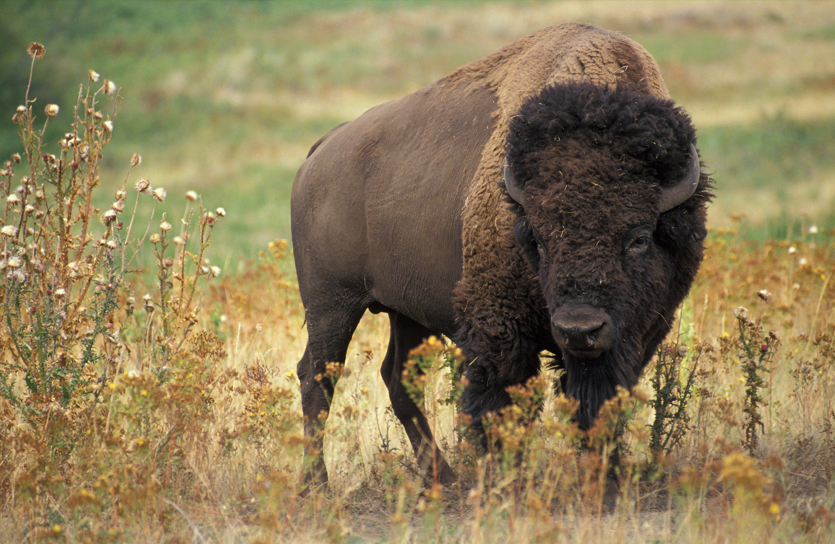 Huge Bison Charges At Man Who Had Been Taunting It In Road American bison k5680 1