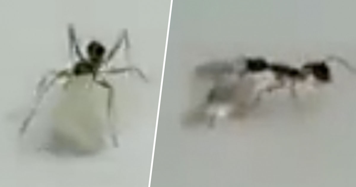 Tiny Ant Attempts To Steal Precious Diamond From Inside Shop