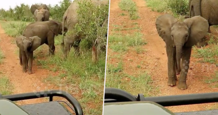 Baby elephant takes on truck.