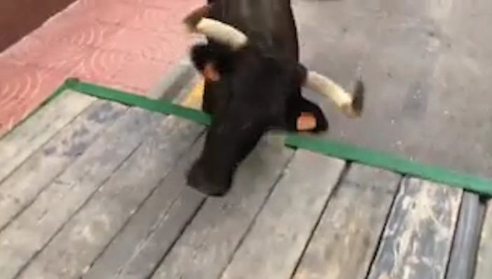 Bull pounces on man.