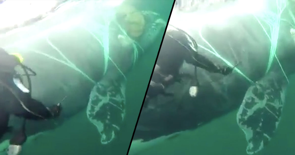Divers rescue whale caught up in net