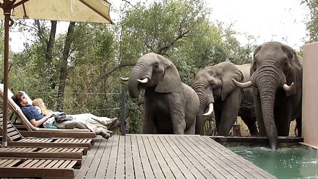 Elephants Stop At Hotel For Quick Drink In Pool Ele face