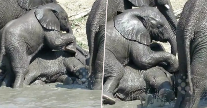 Baby elephants wrestle in the mud.