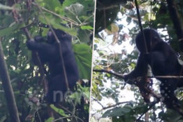 Baby gorilla falls out of tree