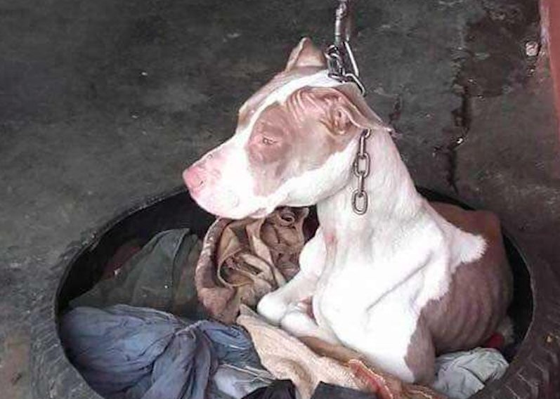 Dog chained up