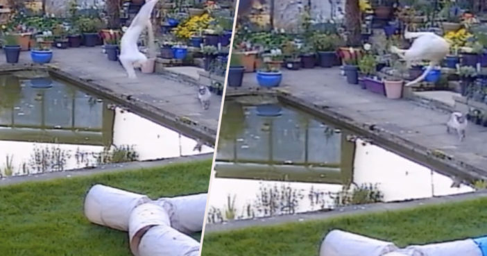 Cat falls in pond while trying to catch bird.