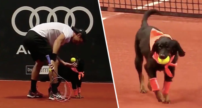 Dogs work as ball boys at Brazilian Open.