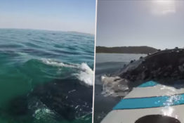 Paddle Boarder encounters whales.